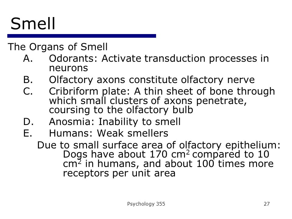 Psychology 35527 Smell The Organs of Smell A.Odorants: Activate transduction processes in neurons B.Olfactory axons constitute olfactory nerve C.Cribriform plate: A thin sheet of bone through which small clusters of axons penetrate, coursing to the olfactory bulb D.Anosmia: Inability to smell E.Humans: Weak smellers Due to small surface area of olfactory epithelium: Dogs have about 170 cm 2 compared to 10 cm 2 in humans, and about 100 times more receptors per unit area