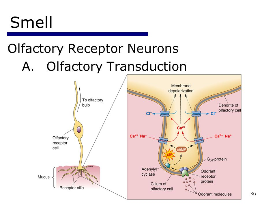 Psychology 35536 Smell Olfactory Receptor Neurons A.Olfactory Transduction