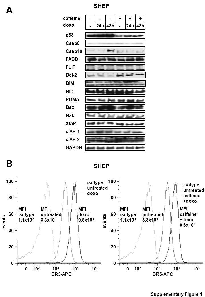 ABAB p53 caffeine doxo - - - 24h 48h - + + - + Casp8 Casp10 FADD FLIP Bcl-2 BIM BID PUMA Bax Bak XIAP cIAP-1 cIAP-2 GAPDH MFI untreated 3,3x10 3 MFI doxo 9,8x10 3 MFI untreated 3,3x10 3 MFI caffeine +doxo 8,6x10 3 SHEP Supplementary Figure 1 MFI isotype 1,1x10 2 MFI isotype 1,1x10 3 events 100 80 60 40 20 0 0 10 2 10 3 10 4 10 5 DR5-APC isotype untreated doxo events 100 80 60 40 20 0 0 10 2 10 3 10 4 10 5 DR5-APC isotype untreated caffeine +doxo