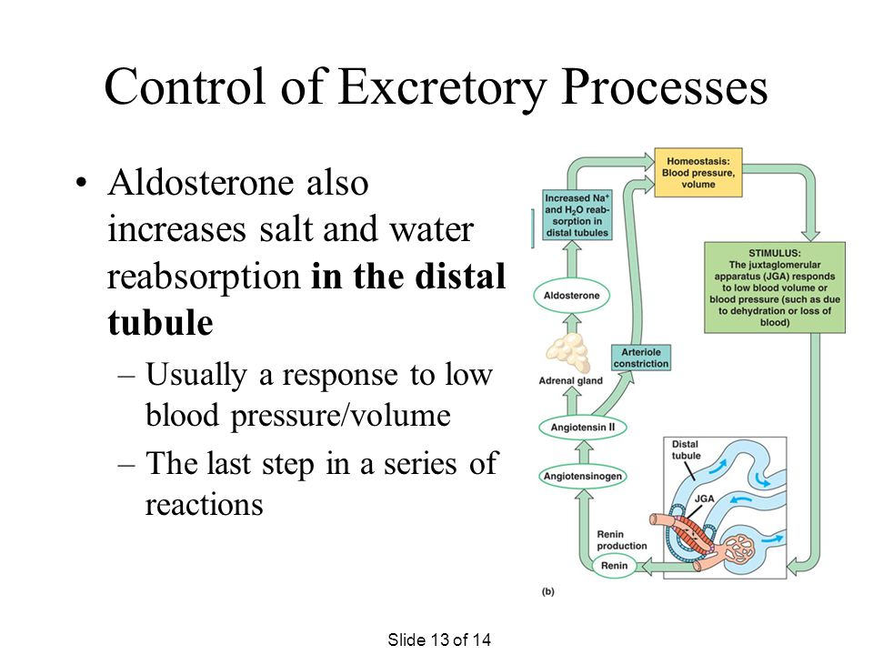 Control of Excretion Processes Antidiuretic hormone (ADH) increases the permeability of the collecting ducts to increase the reabsorption of water –Ur