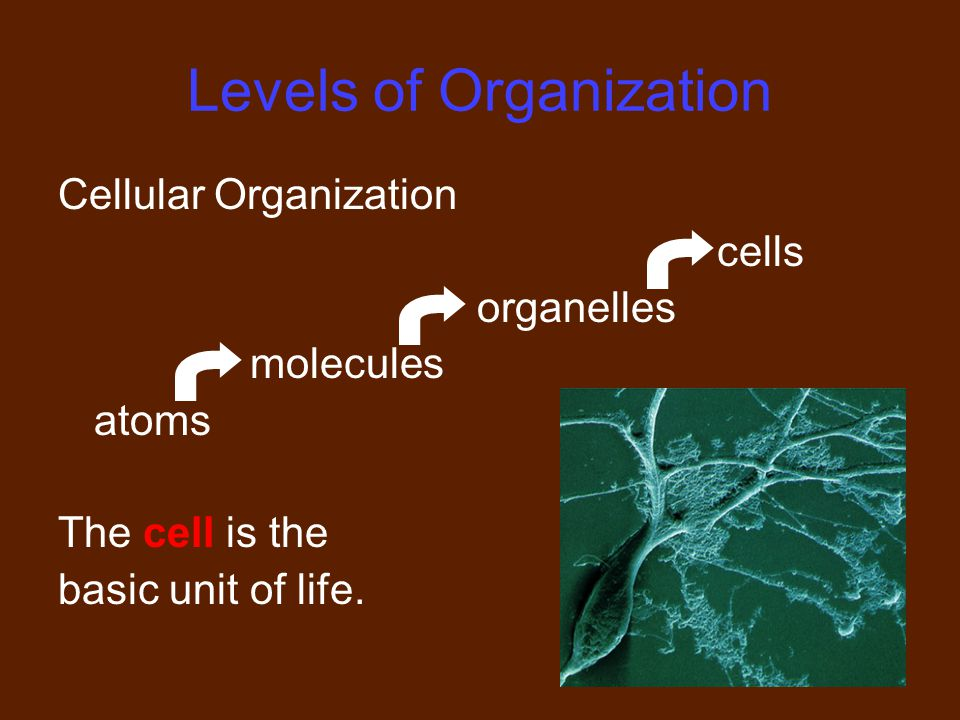 10 Levels of Organization Cellular Organization cells organelles molecules atoms The cell is the basic unit of life.