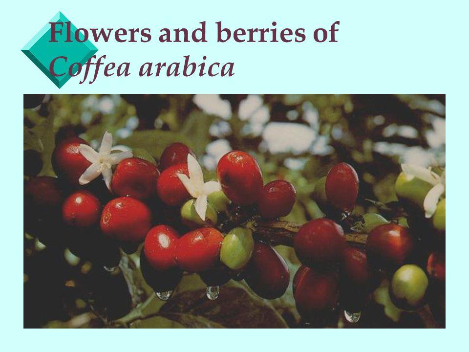 Coffea arabica cherries ready for picking