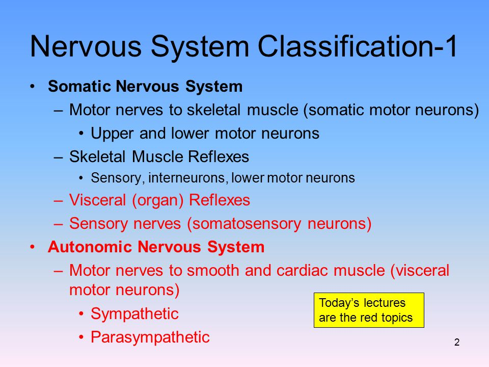 Nervous System Classification-1 Somatic Nervous System –Motor nerves to skeletal muscle (somatic motor neurons) Upper and lower motor neurons –Skeleta