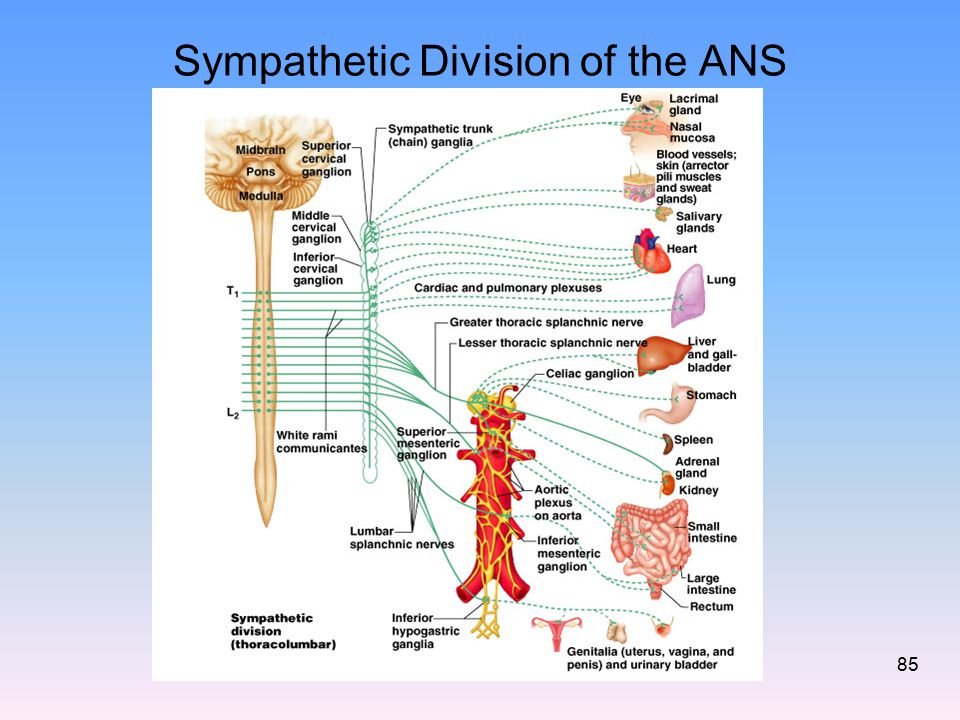 Sympathetic Division of the ANS 85