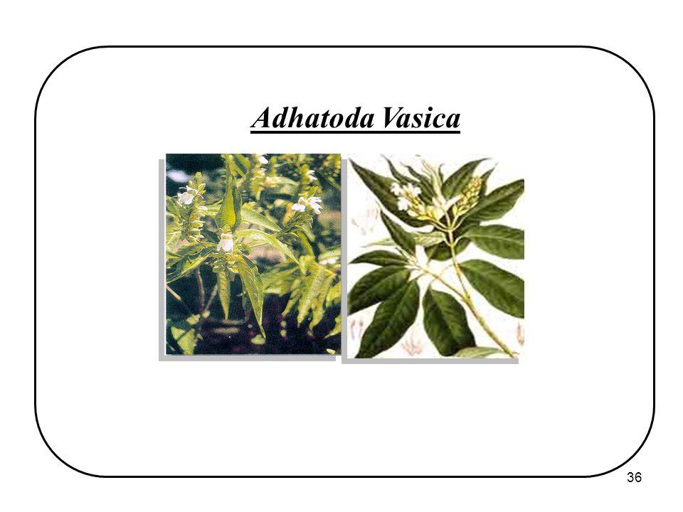 36 Adhatoda Vasica