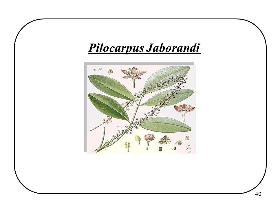 40 Pilocarpus Jaborandi