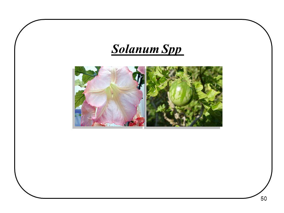 50 Solanum Spp