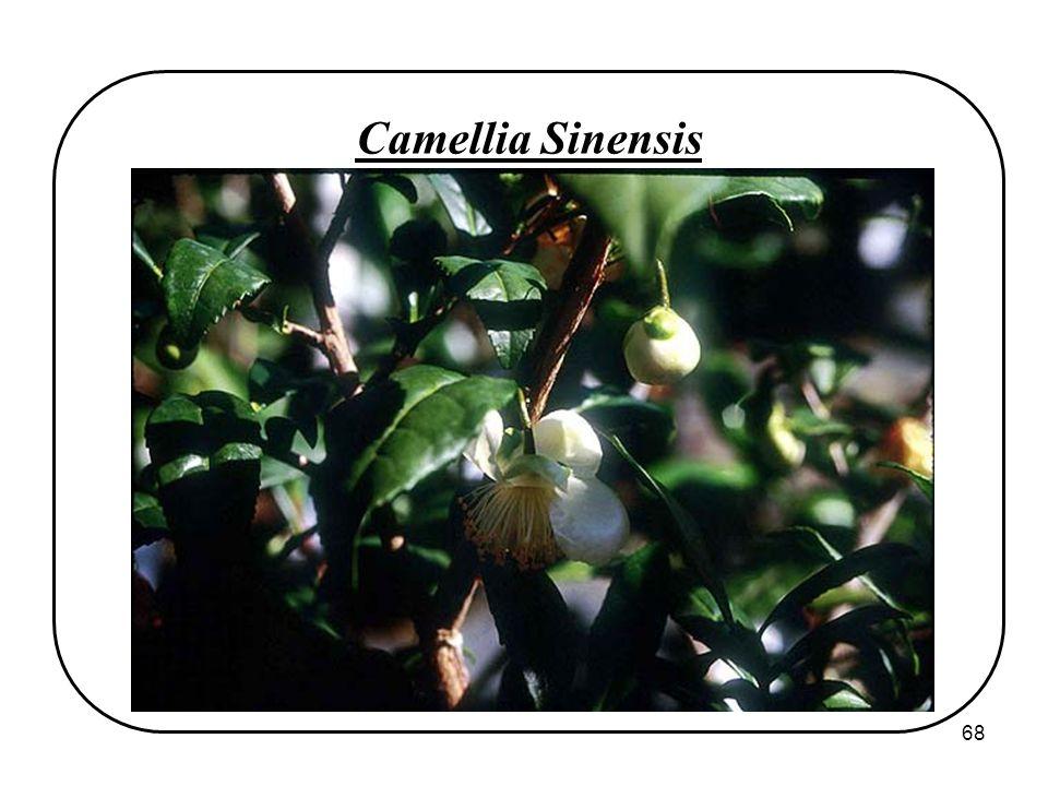 68 Camellia Sinensis