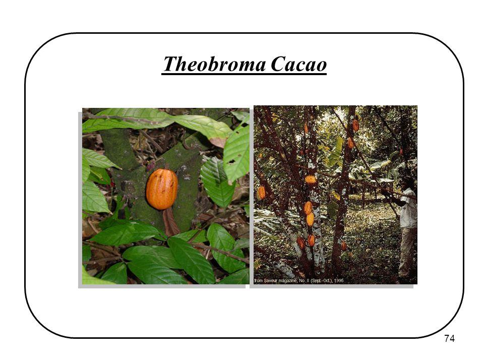 74 Theobroma Cacao
