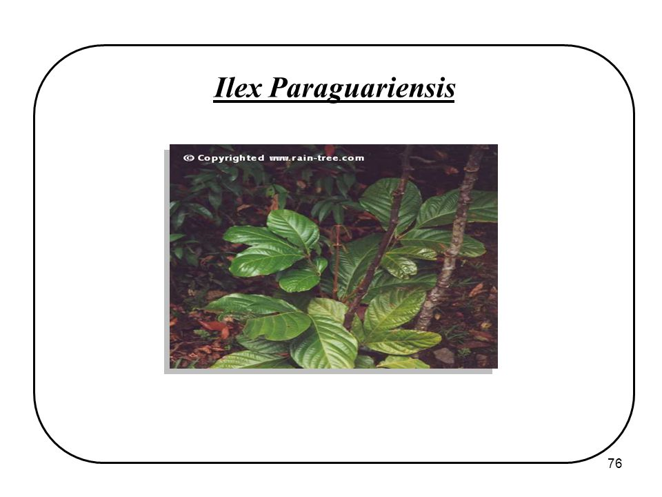 76 Ilex Paraguariensis