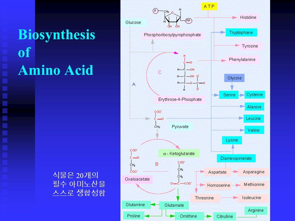 Biosynthesis of Amino Acid 식물은 20 개의 필수 아미노산을 스스로 생합성함