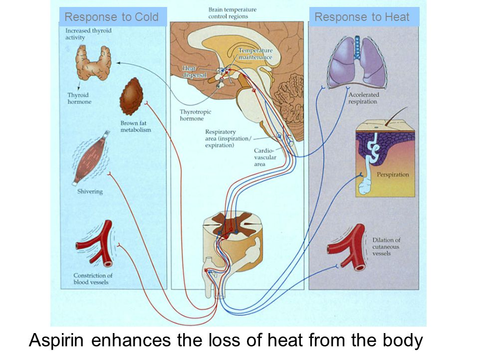 Aspirin enhances the loss of heat from the body Response to ColdResponse to Heat