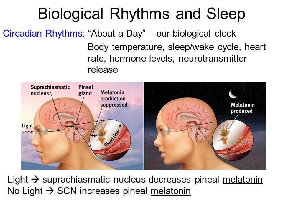 Brain Mechanisms Non-REM Brain stem (reticular activating system) (locus coeruleus) (raphe n.) Sleep EEG Syn ACh 5-HT NE