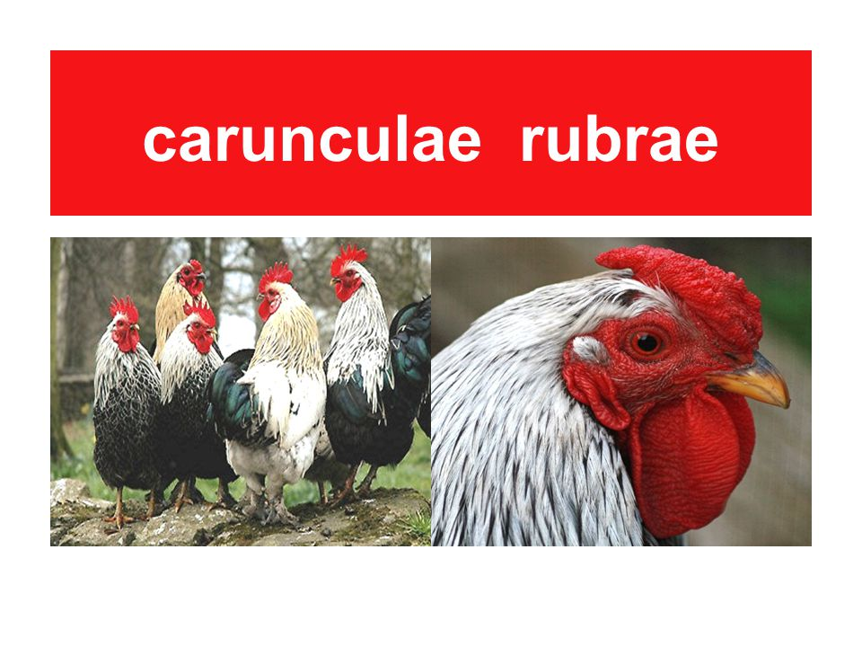 carunculae rubrae