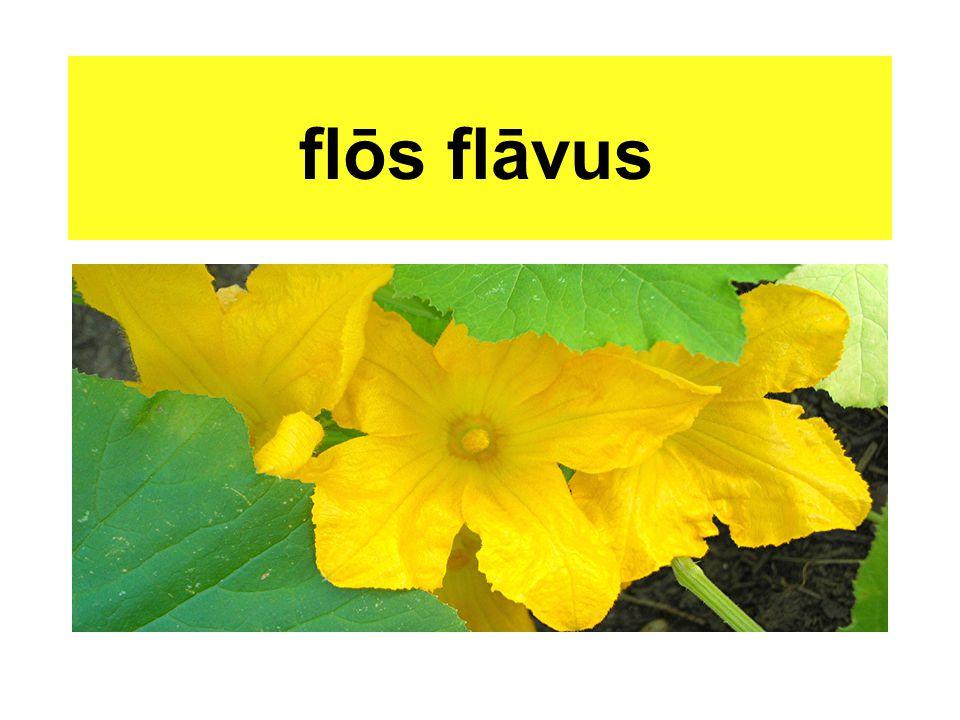 flōs flāvus