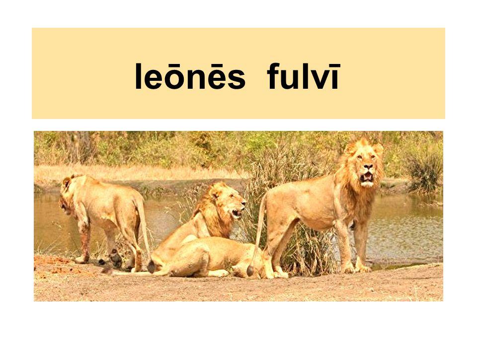 leōnēs fulvī