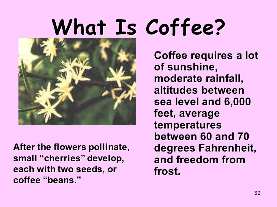 """32 What Is Coffee? After the flowers pollinate, small """"cherries"""" develop, each with two seeds, or coffee """"beans."""" Coffee requires a lot of sunshine, m"""