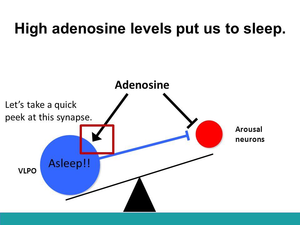 High adenosine levels put us to sleep. Adenosine Arousal neurons VLPO Let's take a quick peek at this synapse. Asleep!!