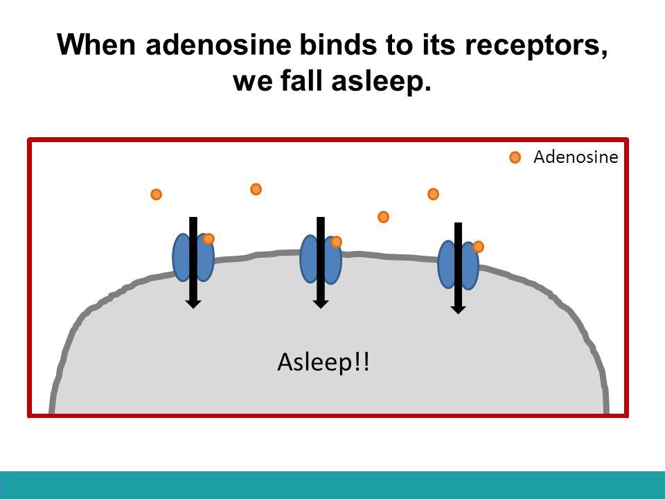 When adenosine binds to its receptors, we fall asleep. Asleep!! Adenosine