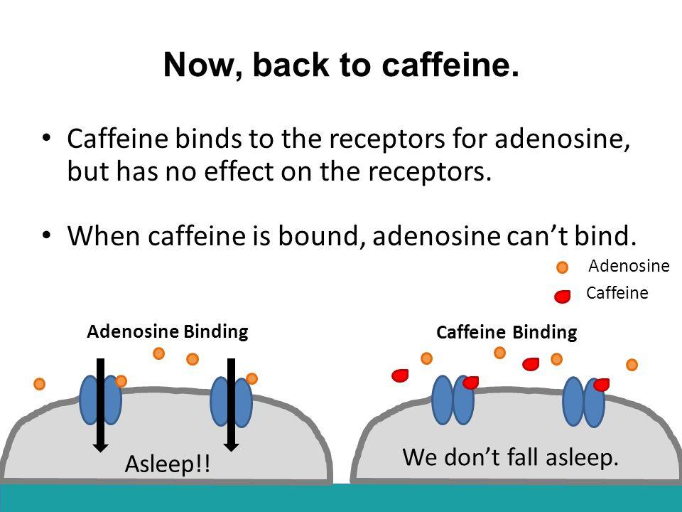 Caffeine Caffeine Binding Now, back to caffeine. Caffeine binds to the receptors for adenosine, but has no effect on the receptors. When caffeine is b