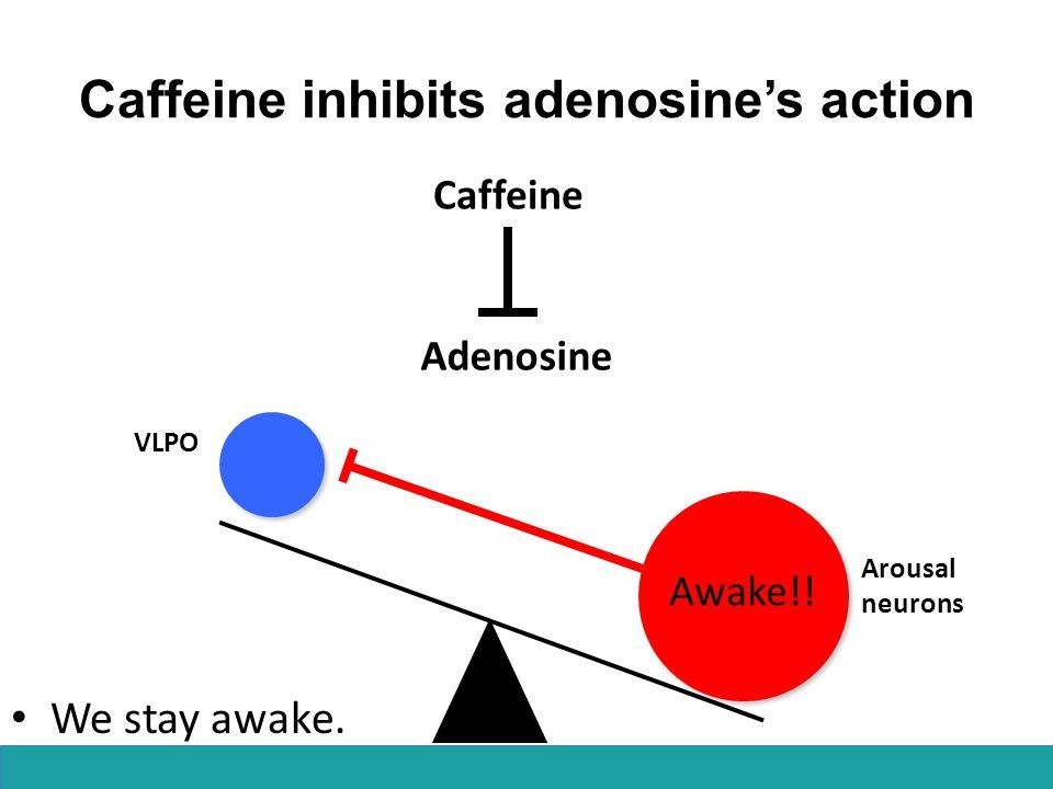 Caffeine inhibits adenosine's action Arousal neurons VLPO Awake!! Adenosine Caffeine We stay awake.