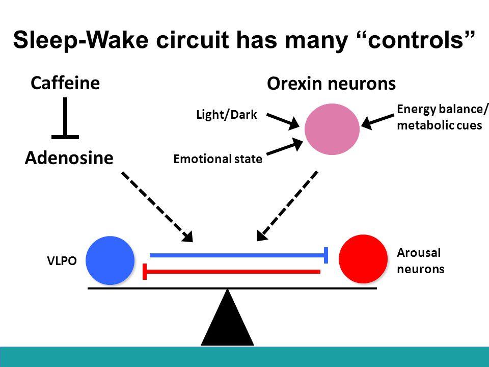 "Sleep-Wake circuit has many ""controls"" Arousal neurons VLPO Adenosine Caffeine Energy balance/ metabolic cues Light/Dark Emotional state Orexin neuron"