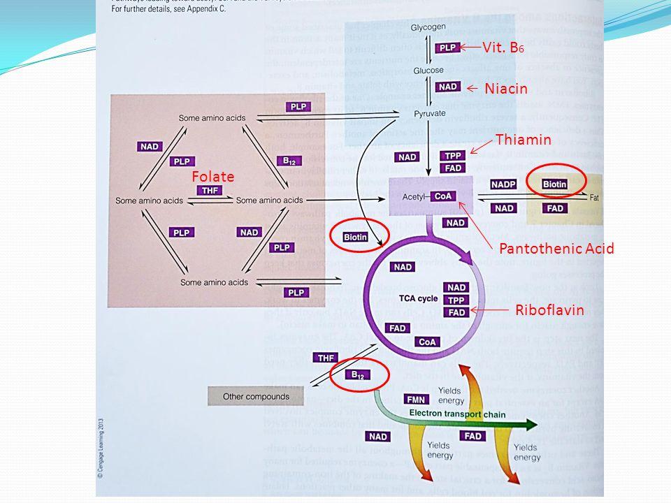 VitaminCoenzyme *ThiaminTPP RiboflavinFAD, FMN *NiacinNAD, NADP Biotin *Pantothenic AcidAcetyl-CoA, (neurotransmitters) B6B6 PLP (amino acid metabolism) *FolateTHF, (cell division) B12(protects nerve fibers) Energy Metabolism