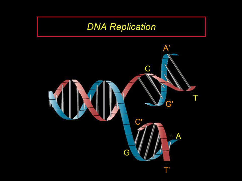 DNA Replication A C G T T A G C