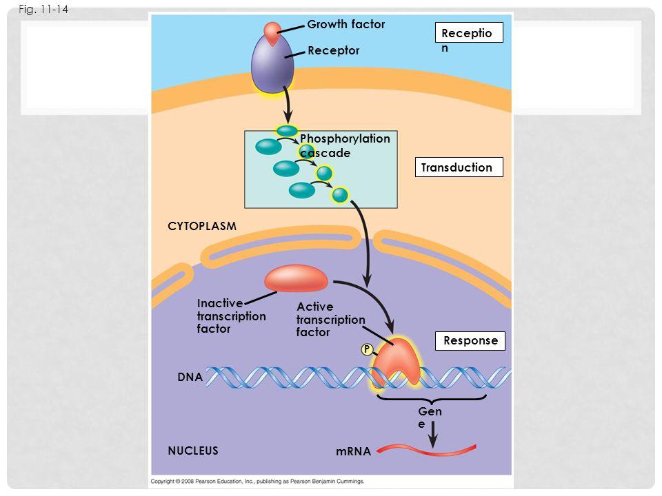 Fig. 11-14 Growth factor Receptor Phosphorylation cascade Receptio n Transduction Active transcription factor Response P Inactive transcription factor