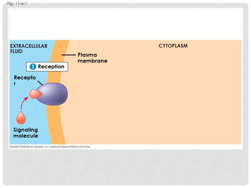 Fig. 11-6-1 Reception 1 EXTRACELLULAR FLUID Signaling molecule Plasma membrane CYTOPLASM 1 Recepto r