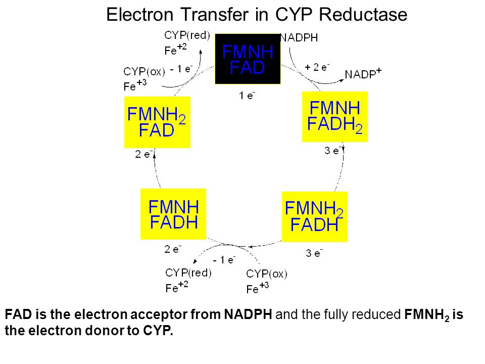 Electron Transfer in CYP Reductase FAD is the electron acceptor from NADPH and the fully reduced FMNH 2 is the electron donor to CYP.