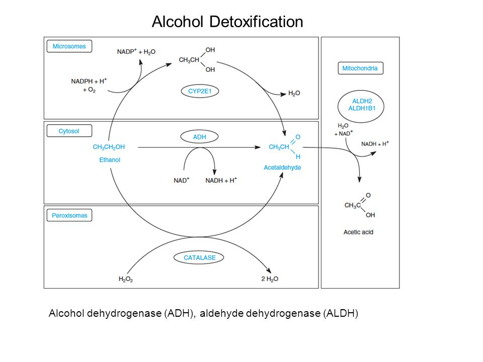 Alcohol Detoxification Alcohol dehydrogenase (ADH), aldehyde dehydrogenase (ALDH)