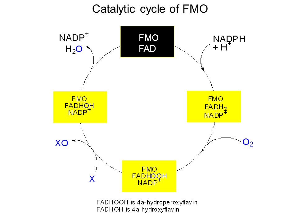 Catalytic cycle of FMO FMO FAD