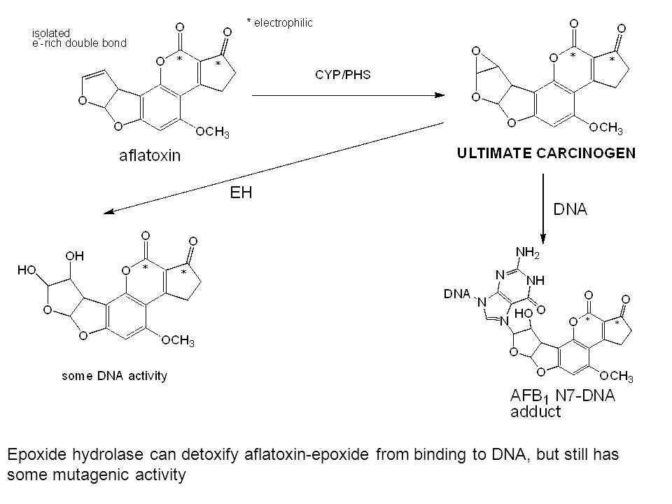 Epoxide hydrolase can detoxify aflatoxin-epoxide from binding to DNA, but still has some mutagenic activity
