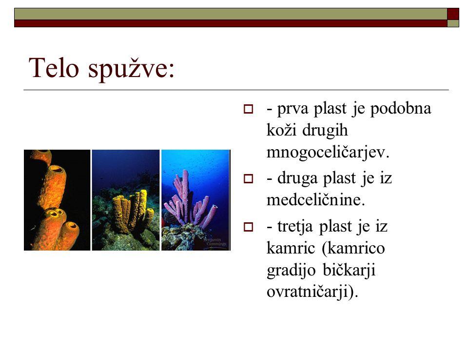 Telo spužve:  - prva plast je podobna koži drugih mnogoceličarjev.  - druga plast je iz medceličnine.  - tretja plast je iz kamric (kamrico gradijo