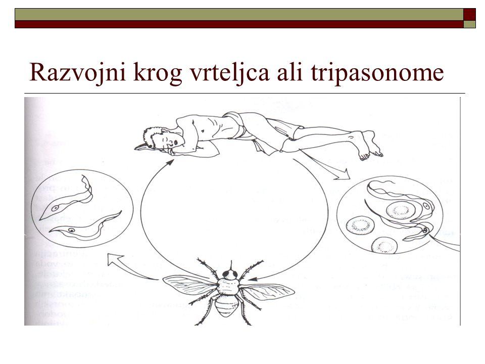 Razvojni krog vrteljca ali tripasonome