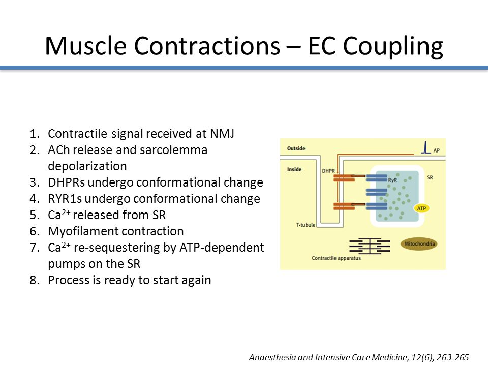 Muscle Contractions – EC Coupling 1.Contractile signal received at NMJ 2.ACh release and sarcolemma depolarization 3.DHPRs undergo conformational change 4.RYR1s undergo conformational change 5.Ca 2+ released from SR 6.Myofilament contraction 7.Ca 2+ re-sequestering by ATP-dependent pumps on the SR 8.Process is ready to start again Anaesthesia and Intensive Care Medicine, 12(6), 263-265
