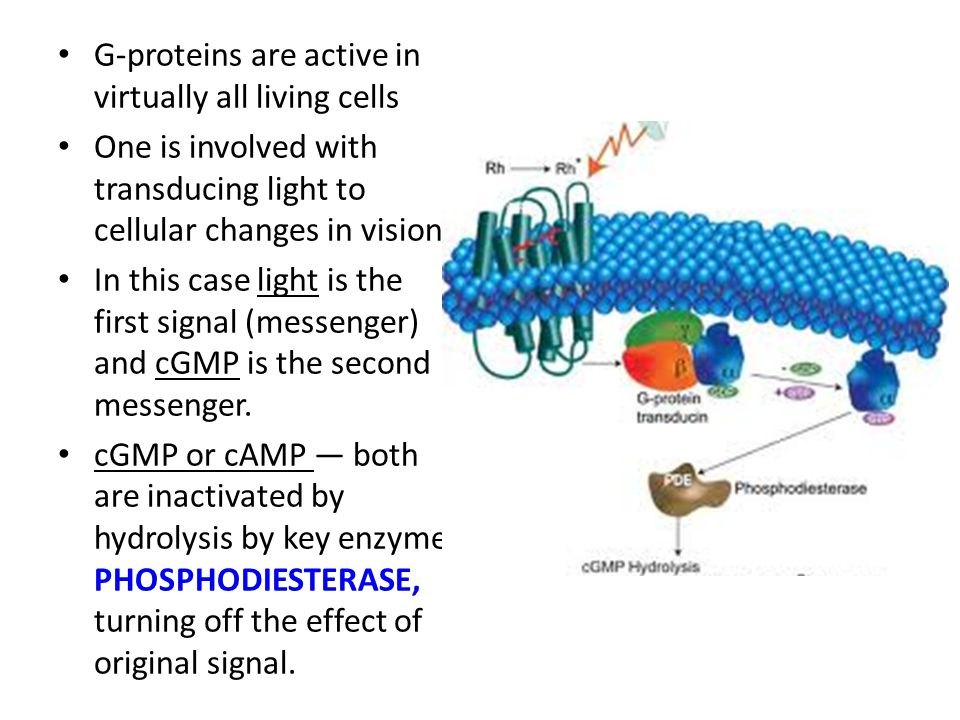 G-proteins are active in virtually all living cells One is involved with transducing light to cellular changes in vision In this case light is the fir