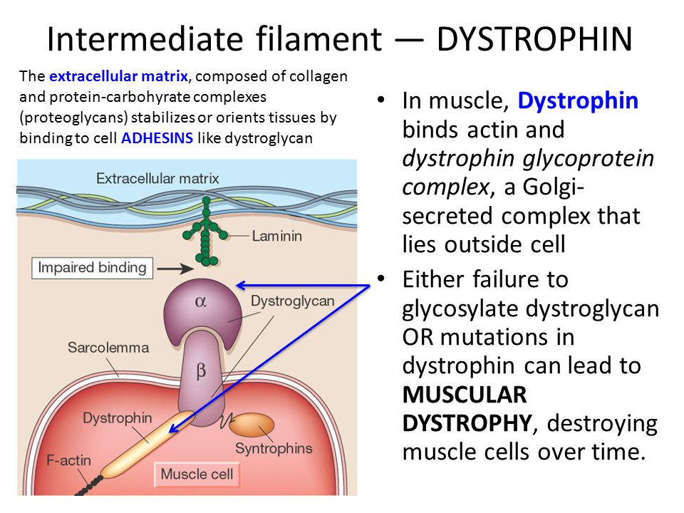 Intermediate filament — DYSTROPHIN In muscle, Dystrophin binds actin and dystrophin glycoprotein complex, a Golgi- secreted complex that lies outside