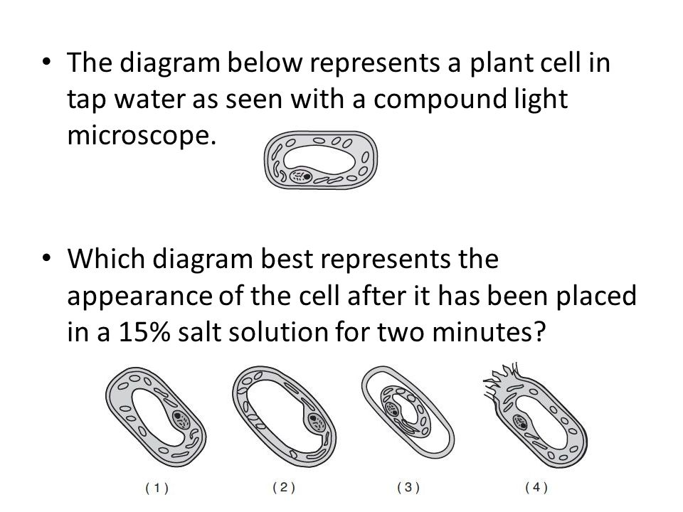 The diagram below represents a plant cell in tap water as seen with a compound light microscope. Which diagram best represents the appearance of the c