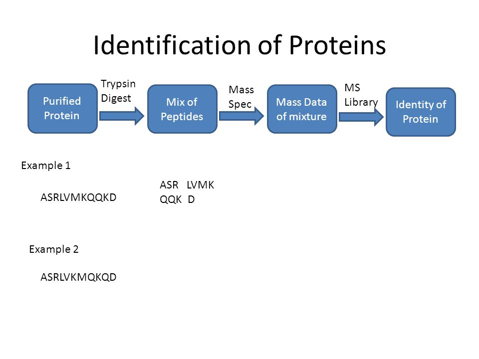 Identification of Proteins Purified Protein Mix of Peptides Trypsin Digest Mass Data of mixture Mass Spec MS Library Identity of Protein ASRLVMKQQKD ASR LVMK QQK D Example 1 Example 2 ASRLVKMQKQD