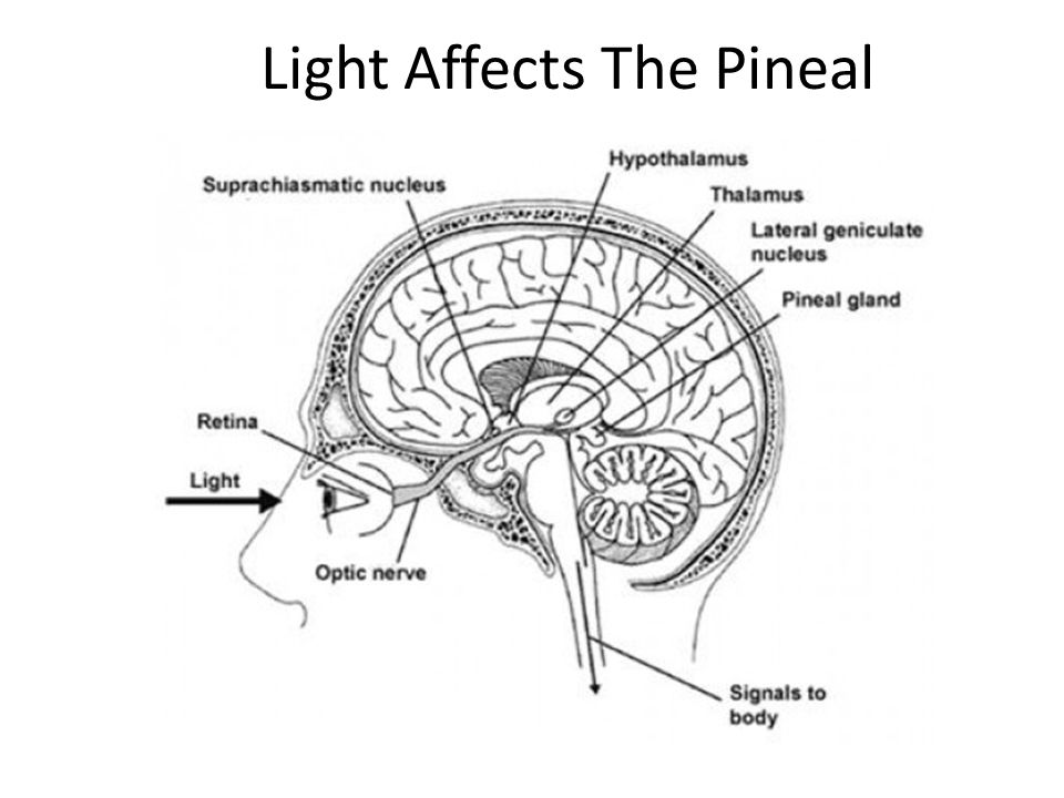 Light Affects The Pineal