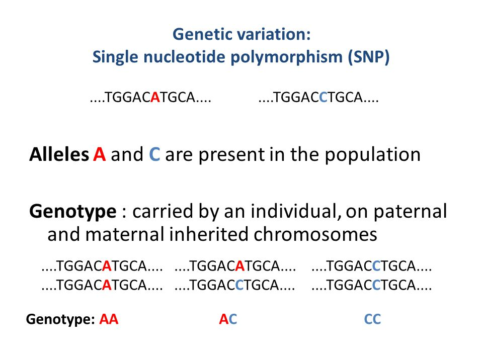 Genetic variation: Single nucleotide polymorphism (SNP) Alleles A and C are present in the population Genotype : carried by an individual, on paternal and maternal inherited chromosomes....TGGACCTGCA........TGGACATGCA........TGGACCTGCA........TGGACATGCA........TGGACATGCA........TGGACCTGCA....