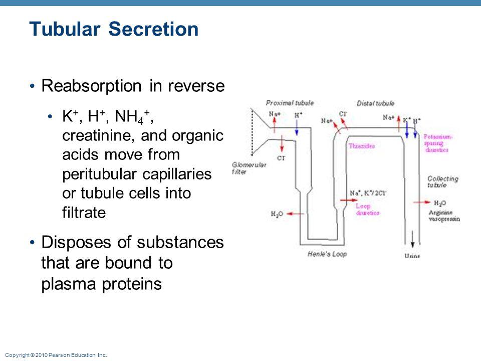 Copyright © 2010 Pearson Education, Inc. Tubular Secretion Reabsorption in reverse K +, H +, NH 4 +, creatinine, and organic acids move from peritubul