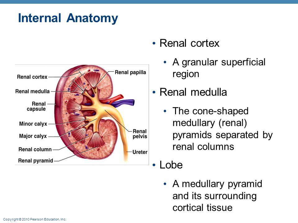 Copyright © 2010 Pearson Education, Inc. Internal Anatomy Renal cortex A granular superficial region Renal medulla The cone-shaped medullary (renal) p