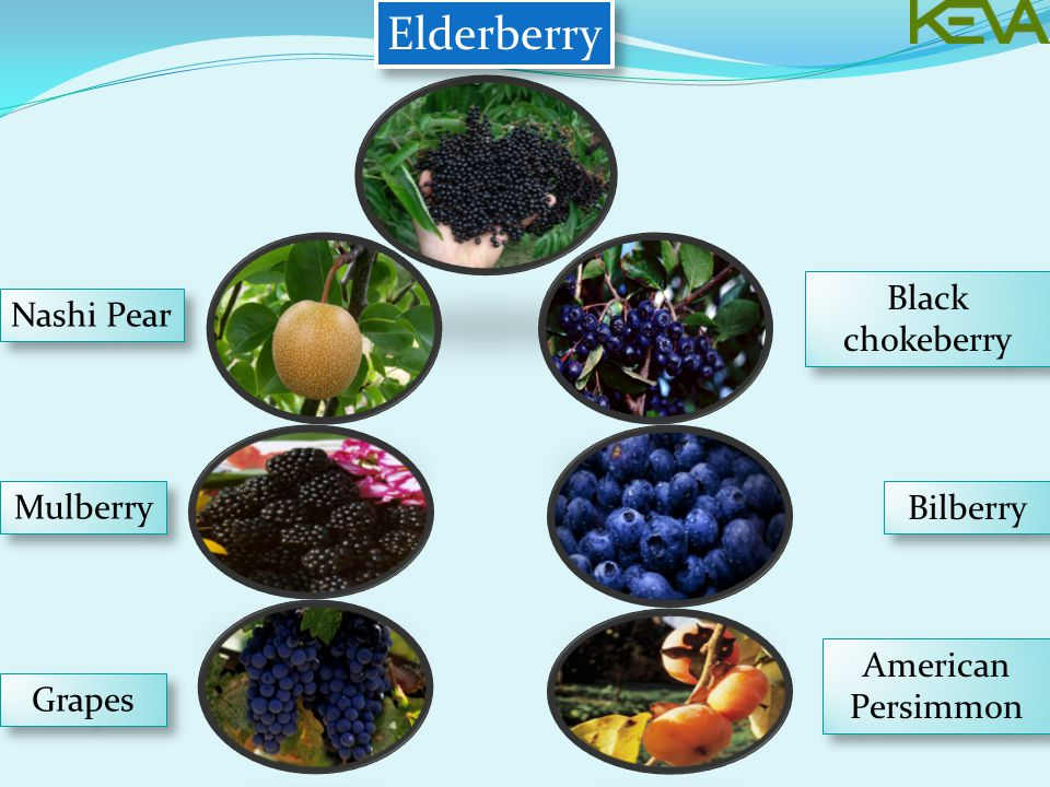 Elderberry Nashi Pear Mulberry Grapes American Persimmon Bilberry Black chokeberry