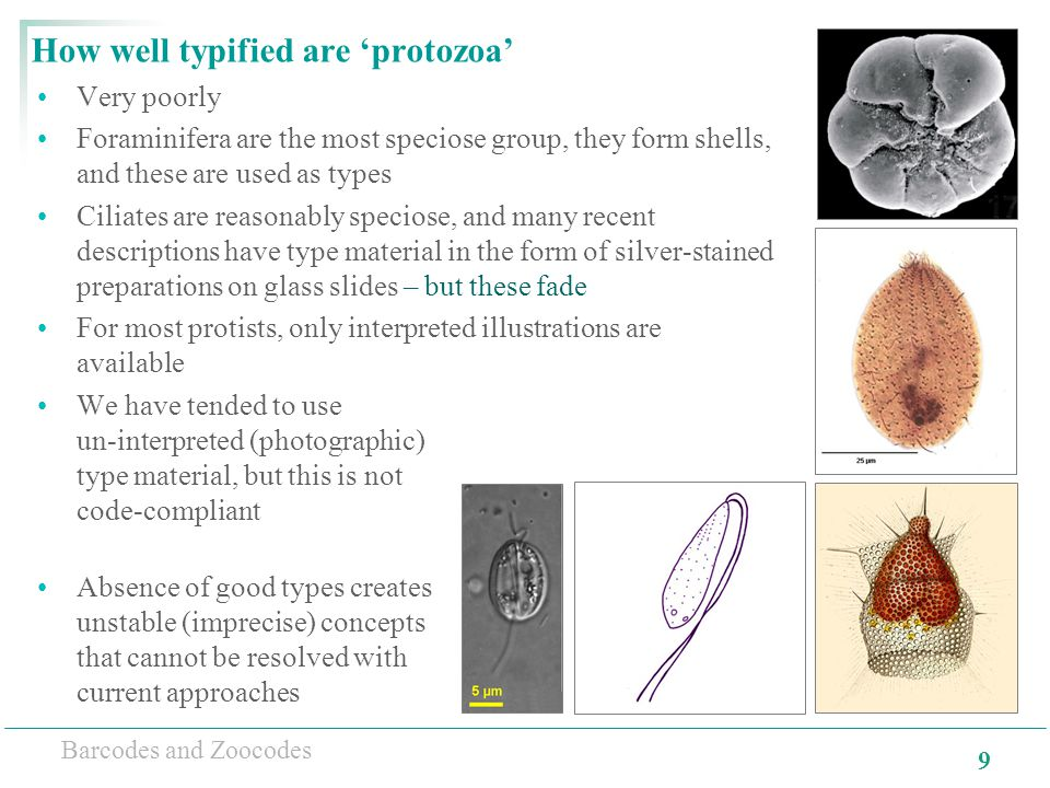 9 Barcodes and Zoocodes How well typified are 'protozoa' Very poorly Foraminifera are the most speciose group, they form shells, and these are used as