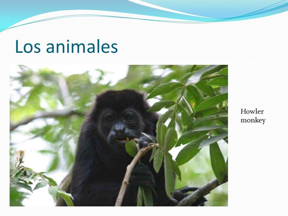 Los animales Howler monkey