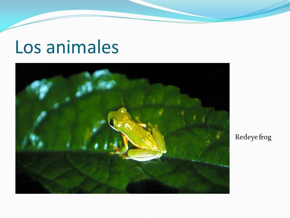 Los animales Redeye frog