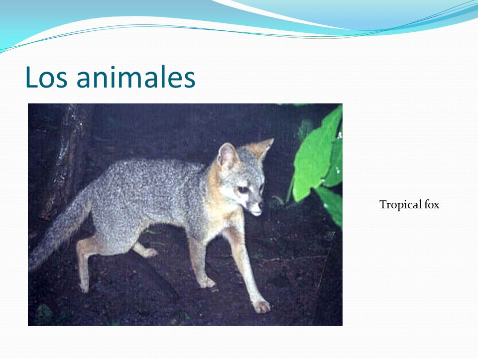 Los animales Tropical fox